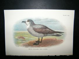 Allen 1890's Antique Bird Print. White-Throated Grey Petrel